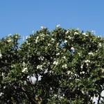 Pretty tree on the way to Pokai Bay beach park